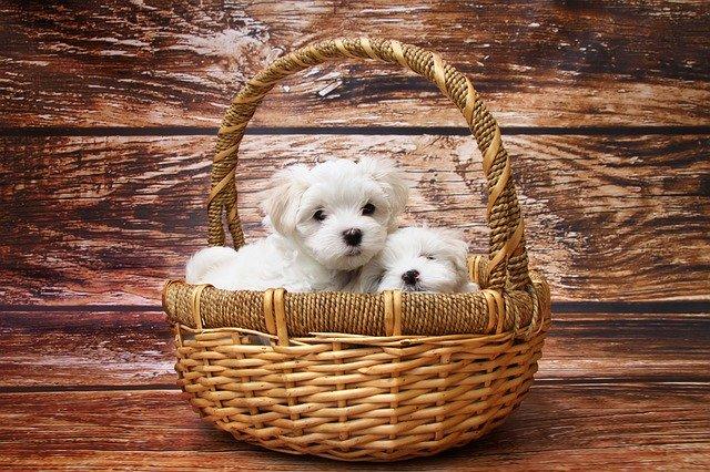 Quelle race de chien choisir quand on vit en appartement?