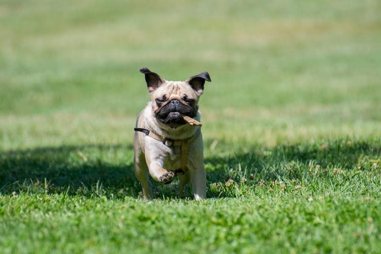 Comment aider son chien à récupérer après une opération des pattes ?